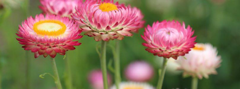 Semence Gazon, prairies fleuries
